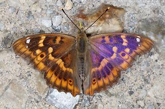 Apatura ilia - Kleiner Schillerfalter, Männchen Oberseite (2)