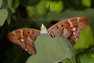 Apatura ilia - Kleiner Schillerfalter, Männchen Unterseite (1)