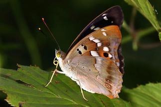 Apatura ilia - Kleiner Schillerfalter, Männchen Unterseite (2)