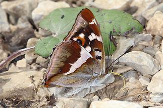 Apatura iris - Großer Schillerfalter, Falter Unterseite (1)
