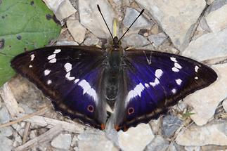 Apatura iris - Großer Schillerfalter, Männchen Oberseite