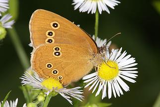 Aphantopus hyperantus - Schornsteinfeger, Falter Seite (2)