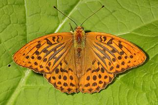 Argynnis paphia - Kaisermantel, Männchen Oberseite