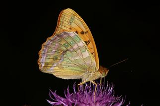 Argynnis paphia - Kaisermantel, Männchen Unterseite