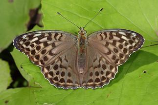 Argynnis paphia f. valesina - Kaisermantel, Weibchen Oberseite (1)