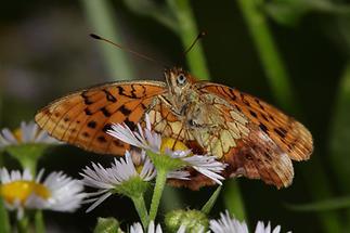 Brenthis daphne - Brombeer-Perlmuttfalter, Falter Unterseite (1)