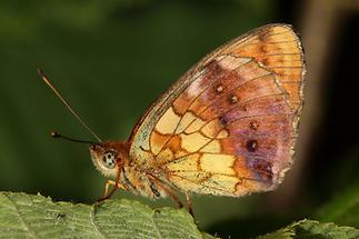 Brenthis daphne - Brombeer-Perlmuttfalter, Falter Unterseite (2)