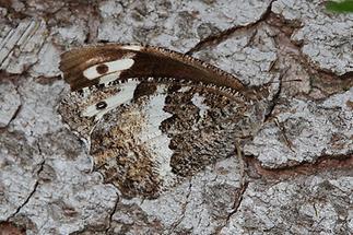Brintesia circe - Weißer Waldportier, Falter Unterseite