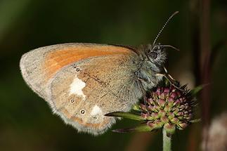 Coenonympha glycerion - Rotbraunes Wiesenvögelchen, Falter