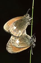 Coenonympha glycerion - Rotbraunes Wiesenvögelchen, Paar