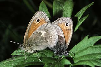 Coenonympha pamphilus - Kleines Wiesenvögelchen, Paar