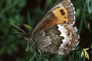 Erebia aethiops - Graubindiger Mohrenfalter, Falter