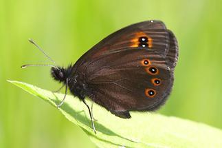 Erebia aethiops - Graubindiger Mohrenfalter, Falter Seite