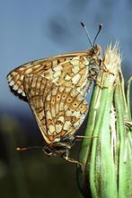 Euphydryas aurinia - Goldener Scheckenfalter, Paar Unterseite