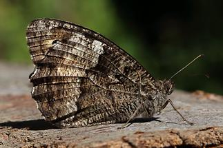 Hipparchia fagi - Großer Waldportier, Falter Unterseite (2)