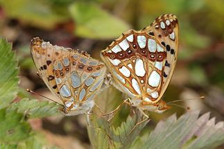 Issoria lathonia - Kleiner Perlmuttfalter, Falter Paar