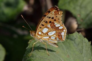 Issoria lathonia - Kleiner Perlmuttfalter, Falter Unterseite