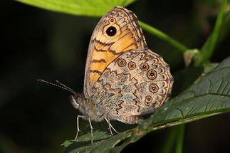 Lasiommata megera - Mauerfuchs, Falter
