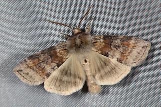 Cymatophorina diluta - Violettgrauer Eulenspinner, Lichtfang