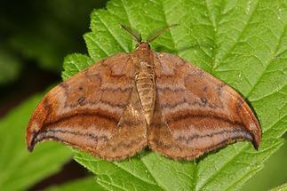 Drepana curvatula - Erlen-Sichelflügler (1)