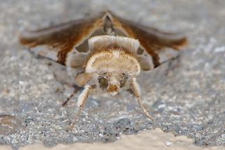 Habrosyne pyritoides - Achat-Eulenspinner (3)