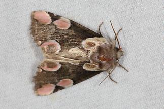 Thyatira batis - Rosen-Eulenspinner, Lichtfang