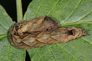 Thyatira batis - Rosen-Eulenspinner, Raupe (2)