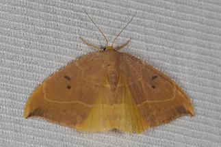 Watsonalla binaria - Zweipunkt-Sichelflügler, Weibchen, Lichtfang