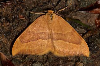 Watsonalla cultraria - Buchen-Sichelflügler (1)