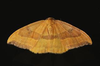 Watsonalla cultraria - Buchen-Sichelflügler (2)