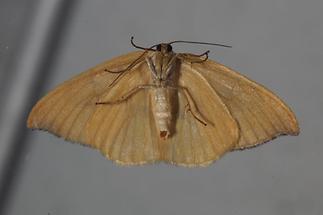 Watsonalla cultraria - Buchen-Sichelflügler, Unterseite