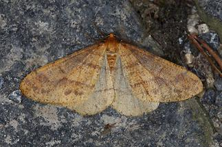 Agriopis aurantiaria - Orangegelber Breitflügelspanner (1)