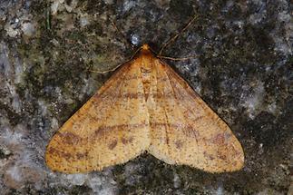 Agriopis aurantiaria - Orangegelber Breitflügelspanner (2)