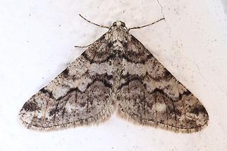 Agriopis leucophaearia - Weißgrauer Breitflügelspanner