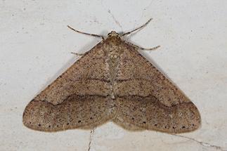 Agriopis marginaria - Graugelber Breitflügelspanner, Männchen