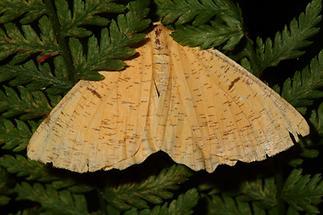 Angerona prunaria - Schlehenspanner