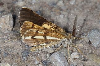 Bupalus piniaria - Kiefernspanner, Männchen