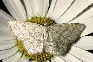 Cabera pusaria - Weißstirn-Weißspanner