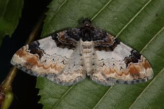 Catarhoe cuculata - Braunbinden-Blattspanner