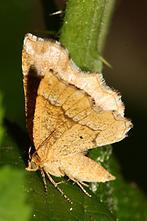 Cepphis advenaria - Zackensaum-Heidelbeerspanner