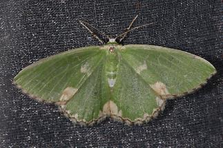 Comibaena bajularia - Pustelspanner, Lichtfang