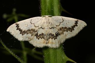 Cyclophora annularia - Ahorn-Gürtelpuppenspanner (2)