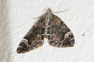 Dystroma citrata - Buschhalden-Blattspanner