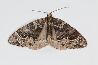 Ecliptoptera capitata - Gelbköpfiger Springkraut-Blattspanner