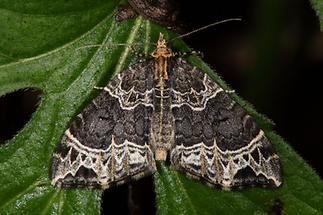 Ecliptoptera silaceata - Braunleibiger Springkrautspanner