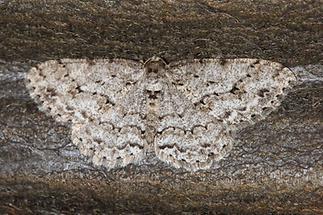 Ectropis crepuscularia - Zackenbindiger Rindenspanner (1)