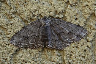 Ectropis crepuscularia f. defessaria - Zackenbindiger Rindenspanner (2)