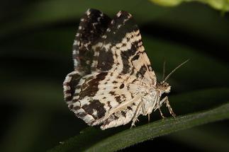 Epirrhoe tristata - Fleckleib-Labkrautspanner (2)