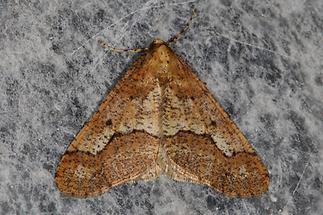Erannis defoliaria - Großer Frostspanner (1)