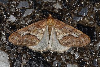 Erannis defoliaria - Großer Frostspanner (2)